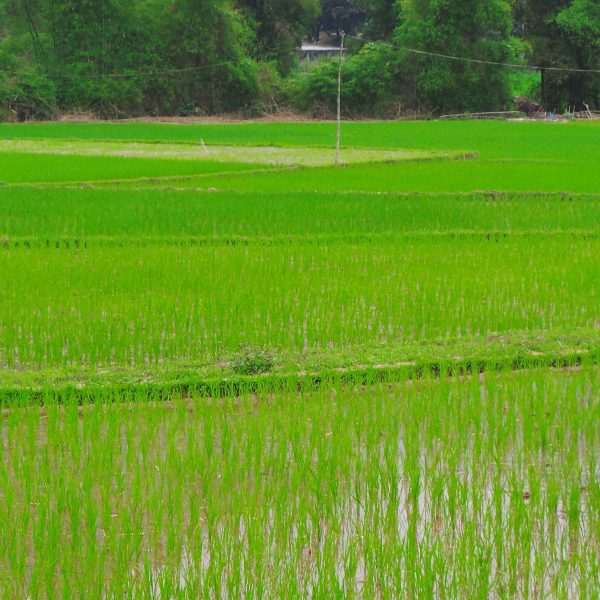 Rice fields in Mau Chau, Vietnam. One of the areas visited with the Vietnam VolunTOURing trip.